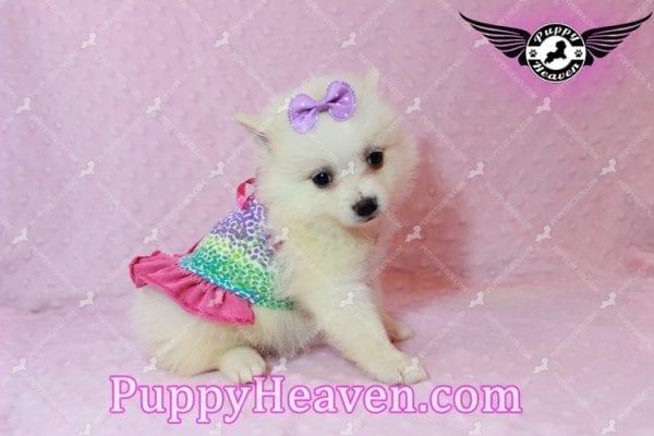 Snow White - Teacup Pomeranian Has Found A Loving Home With Josef & Natassia in Las Vegas, NV 89145!-10228