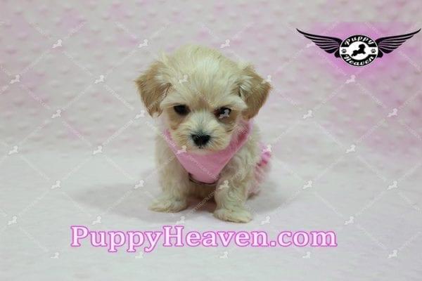 Sweetheart - Teacup Maltipoo Puppy -10545