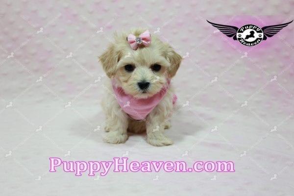 Sweetheart - Teacup Maltipoo Puppy -10550