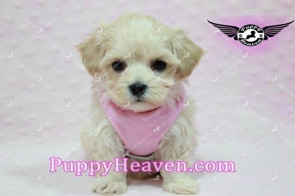 Sweetheart - Teacup Maltipoo Puppy -10542