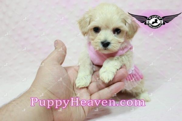 Sweetheart - Teacup Maltipoo Puppy -10546