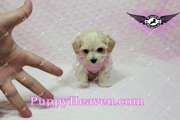 Sweetheart - Teacup Maltipoo Puppy -10543
