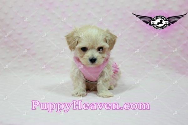 Sweetheart - Teacup Maltipoo Puppy -10544