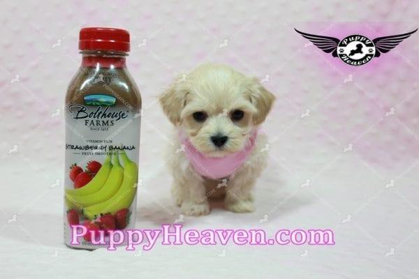 Sweetheart - Teacup Maltipoo Puppy -0