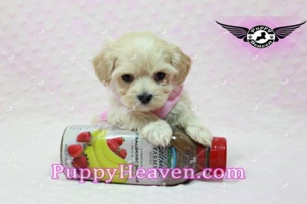 Sweetheart - Teacup Maltipoo Puppy -10549