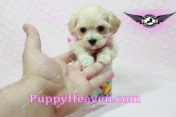 Sweetheart - Teacup Maltipoo Puppy -10547