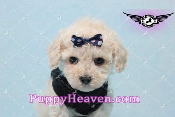 Teddy - Teacup Maltipoo Puppy -10559