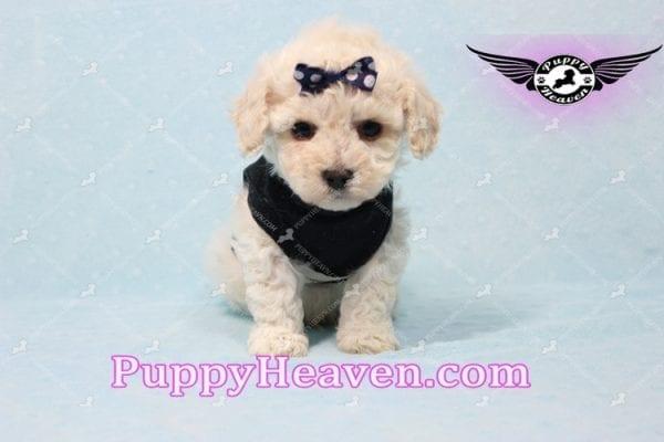 Teddy - Teacup Maltipoo Puppy -10557