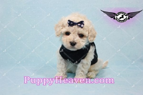 Teddy - Teacup Maltipoo Puppy -10553