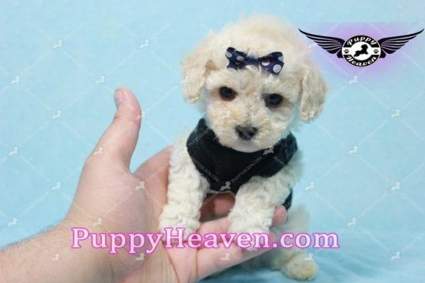Teddy - Teacup Maltipoo Puppy -10556