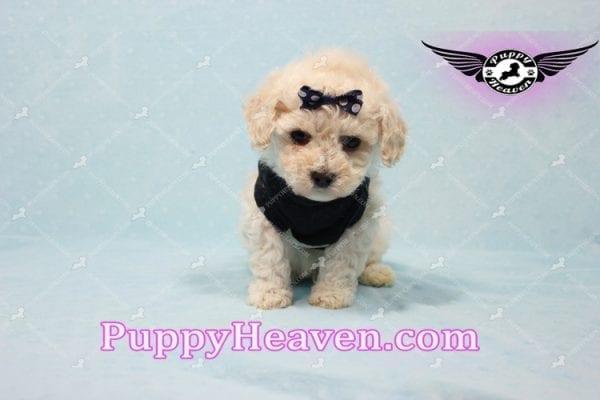 Teddy - Teacup Maltipoo Puppy -10551
