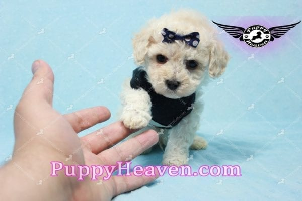 Teddy - Teacup Maltipoo Puppy -10560