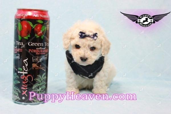Teddy - Teacup Maltipoo Puppy -0