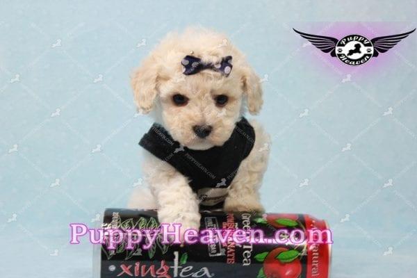 Teddy - Teacup Maltipoo Puppy -10554