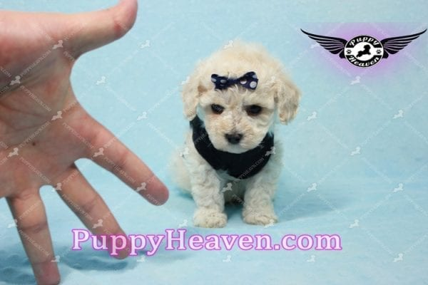 Teddy - Teacup Maltipoo Puppy -10555