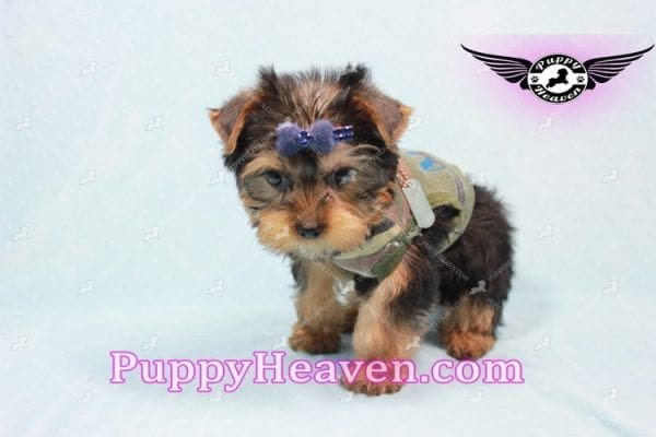 The Boss - Yorkie Puppy In L.A-10632