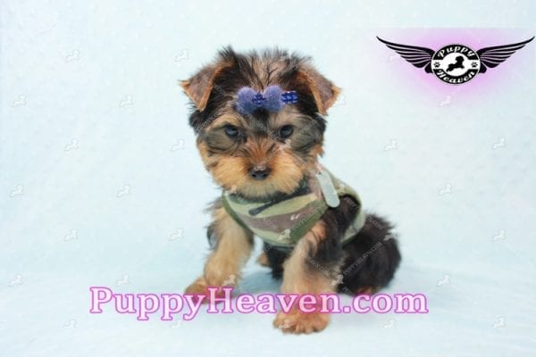 The Boss - Yorkie Puppy In L.A-10633