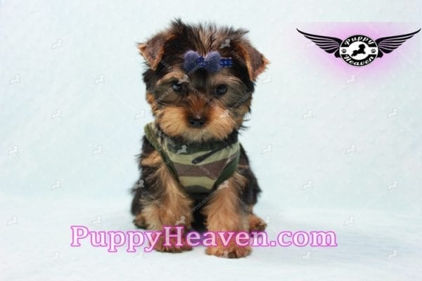 The Boss - Yorkie Puppy In L.A-10635