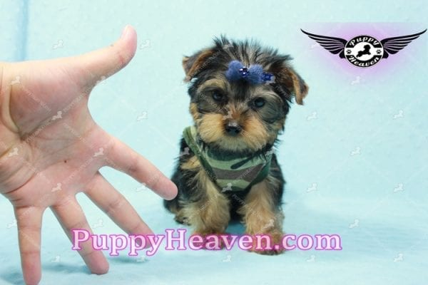 The Boss - Yorkie Puppy In L.A-10634