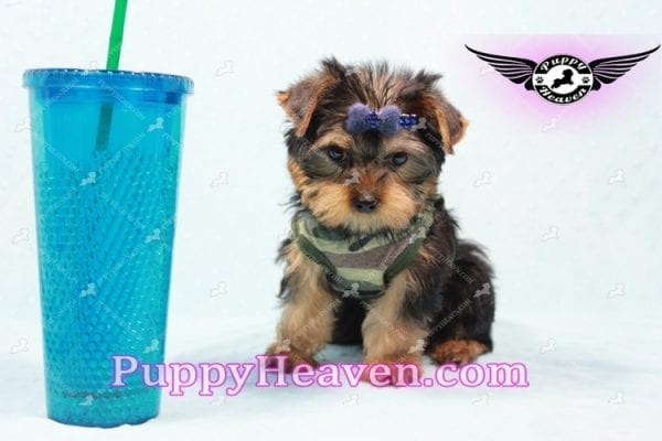 The Boss - Yorkie Puppy In L.A-0