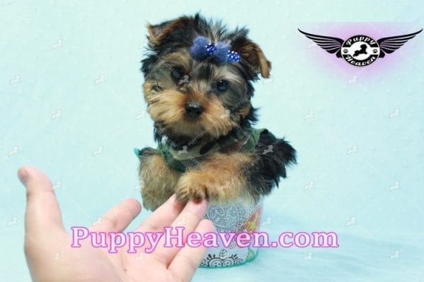 The Boss - Yorkie Puppy In L.A-10629