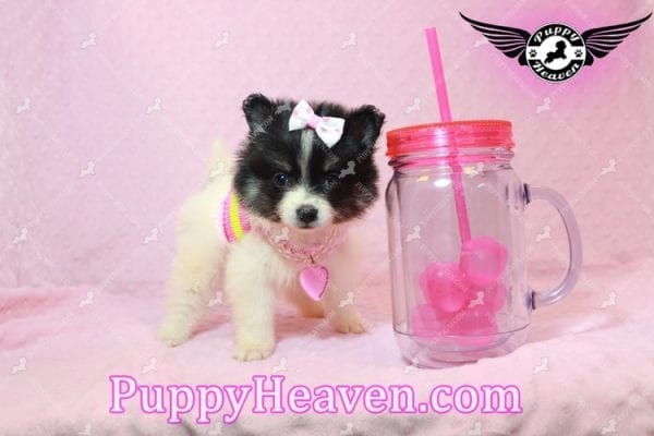 Thumbelina - Tiny Teacup Pomeranian Puppy has found a good loving home with William from Henderson, NV 89012-0
