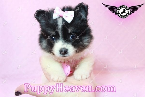 Thumbelina - Tiny Teacup Pomeranian Puppy has found a good loving home with William from Henderson, NV 89012-10211