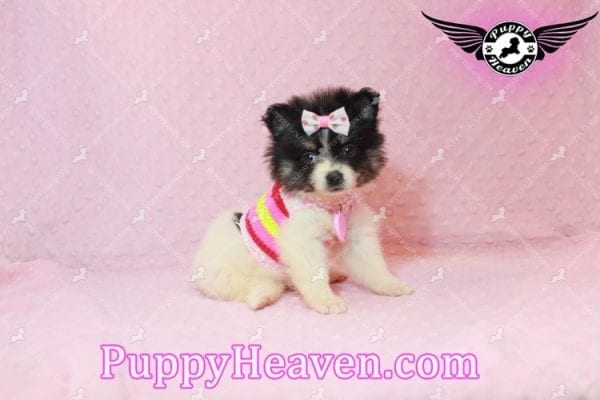 Thumbelina - Tiny Teacup Pomeranian Puppy has found a good loving home with William from Henderson, NV 89012-10214