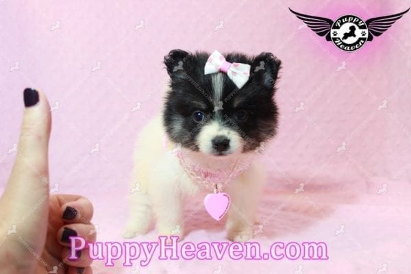 Thumbelina - Tiny Teacup Pomeranian Puppy has found a good loving home with William from Henderson, NV 89012-10218