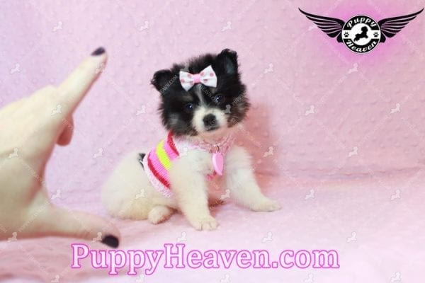 Thumbelina - Tiny Teacup Pomeranian Puppy has found a good loving home with William from Henderson, NV 89012-10212