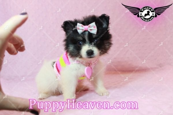 Thumbelina - Tiny Teacup Pomeranian Puppy has found a good loving home with William from Henderson, NV 89012-10213