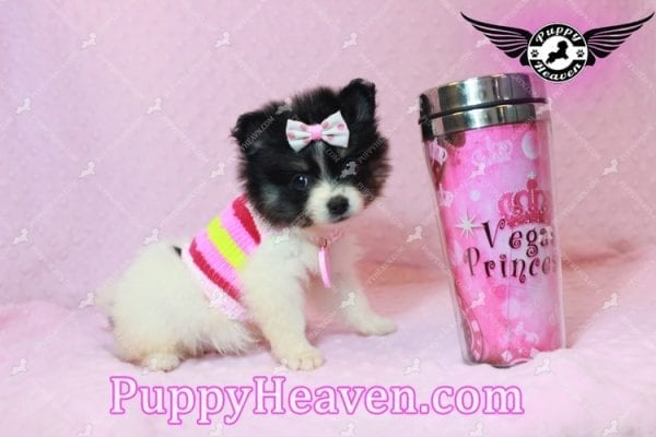 Thumbelina - Tiny Teacup Pomeranian Puppy has found a good loving home with William from Henderson, NV 89012-10215
