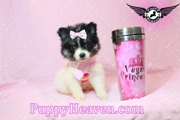 Thumbelina - Tiny Teacup Pomeranian Puppy has found a good loving home with William from Henderson, NV 89012-10217