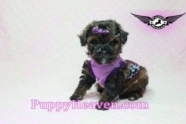 Tiger Eye - Poodle Puppy in L.A Found A New Loving Home-10273