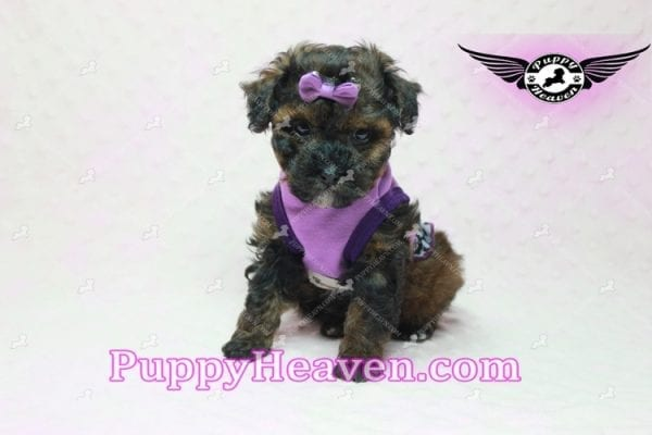 Tiger Eye - Poodle Puppy in L.A Found A New Loving Home-10277