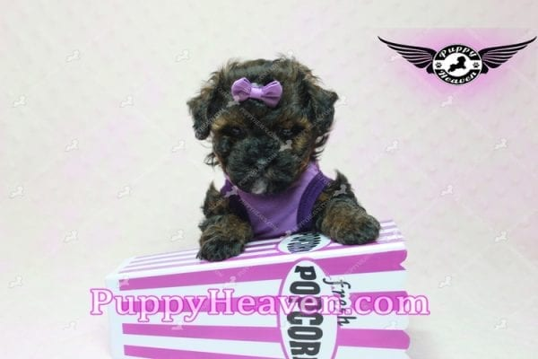 Tiger Eye - Poodle Puppy in L.A Found A New Loving Home-10275