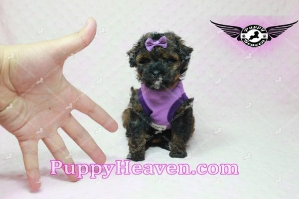 Tiger Eye - Poodle Puppy in L.A Found A New Loving Home-10276