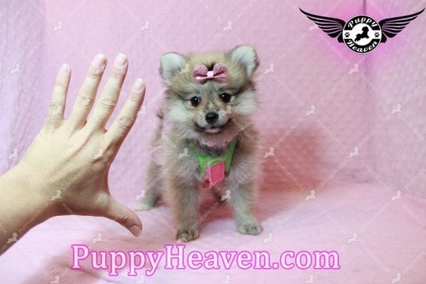 Victoria Secret - Toy Pomeranian Puppy has found a good loving home with KENNEDY FROM CHIPLEY, FL 32428-10383