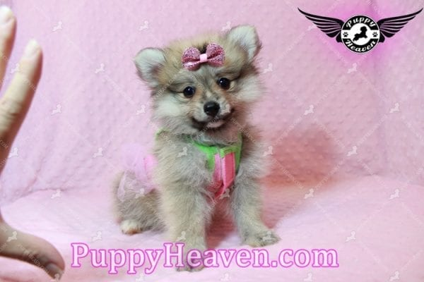 Victoria Secret - Toy Pomeranian Puppy has found a good loving home with KENNEDY FROM CHIPLEY, FL 32428-10379