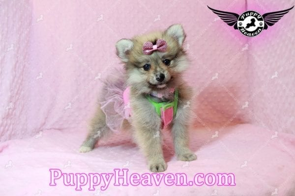 Victoria Secret - Toy Pomeranian Puppy has found a good loving home with KENNEDY FROM CHIPLEY, FL 32428-10381