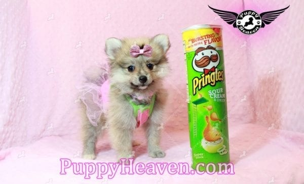 Victoria Secret - Toy Pomeranian Puppy has found a good loving home with KENNEDY FROM CHIPLEY, FL 32428-0