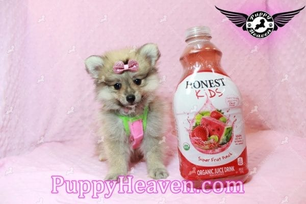 Victoria Secret - Toy Pomeranian Puppy has found a good loving home with KENNEDY FROM CHIPLEY, FL 32428-10380