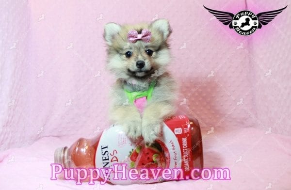 Victoria Secret - Toy Pomeranian Puppy has found a good loving home with KENNEDY FROM CHIPLEY, FL 32428-10378
