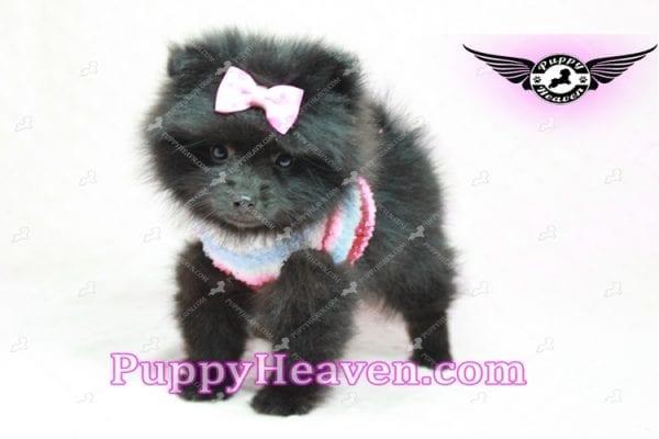 Amber - Teacup Pomeranian Puppy -10895