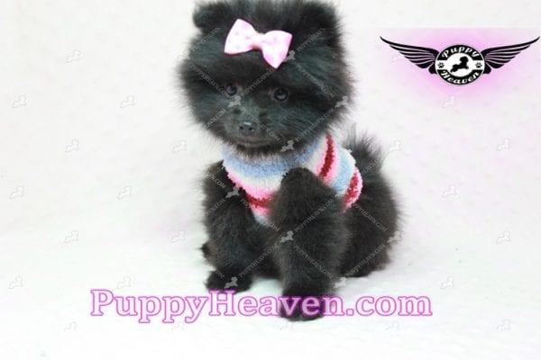 Amber - Teacup Pomeranian Puppy -10900