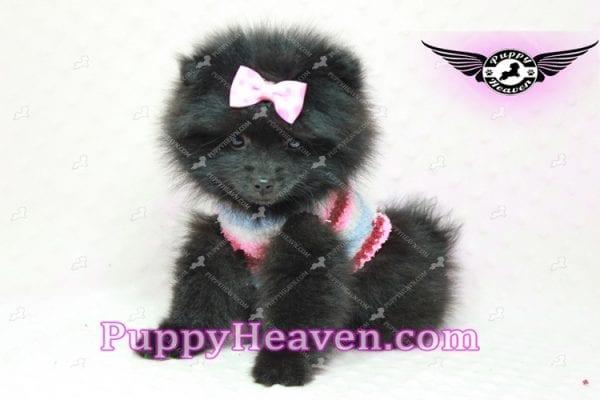 Amber - Teacup Pomeranian Puppy -10894