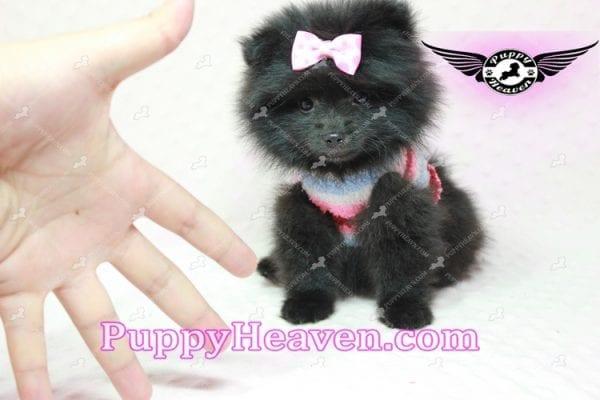 Amber - Teacup Pomeranian Puppy -10896
