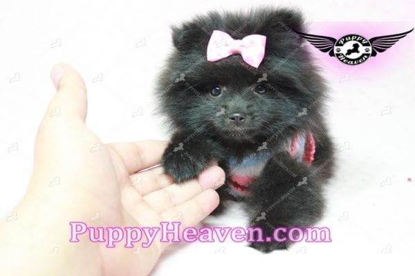 Amber - Teacup Pomeranian Puppy -10898