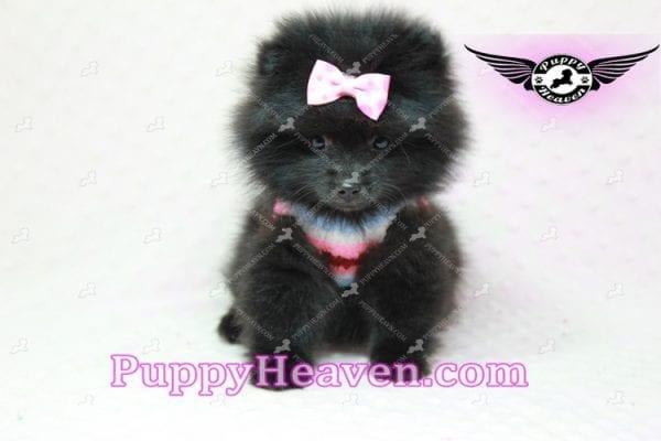 Amber - Teacup Pomeranian Puppy -10897