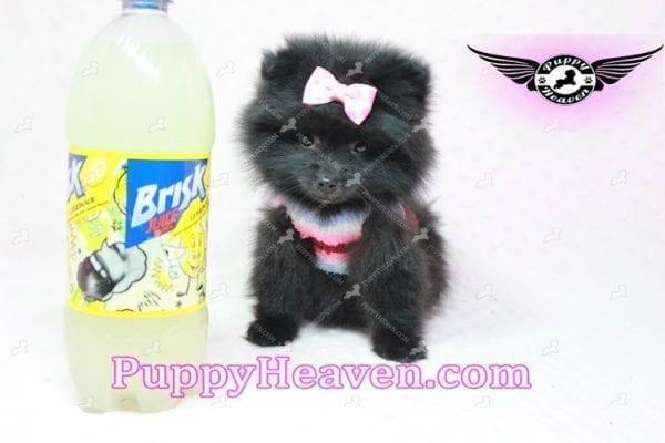 Amber - Teacup Pomeranian Puppy -10891